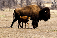 First-Bison-born-in-TR-Park-JB9031