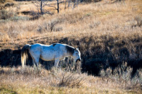 Wild-Horse-in-TR-Park-JB9050