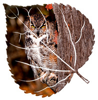 Great Horned Owl on Aspen