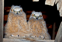 2 Baby Great Horned Owls JB1781