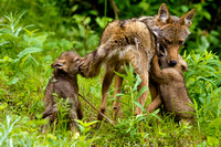 Coyote with pups JB1795