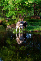 Wolf with pup reflection JB1627