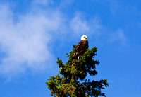 Eagle in tree JB1638