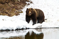 Grizzly-on-Yellowstone-JB2002