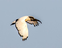 African-Sacred-Ibis-JB129