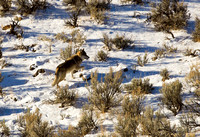 Wolf-at-Yellowstone-JB3001