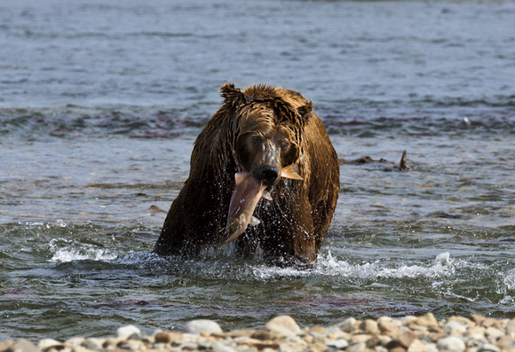 Grizzly-with-fish-JB7041