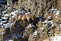Rocky-Mountain-Sheep-at-Yellowstone-JB3004